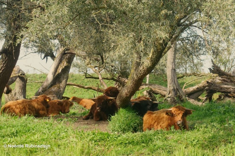 This photo was taken in Holland and features some beautiful Scottish cows resting in the field. Their orange and brown colors are a beautiful contrast with the surrounding green of the grass.