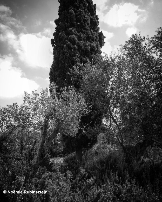This photo was take in Jerusalem in the garden of the Israel Museum featuring a huge tree and its surrounding bushes. The photo is a black and white picture.