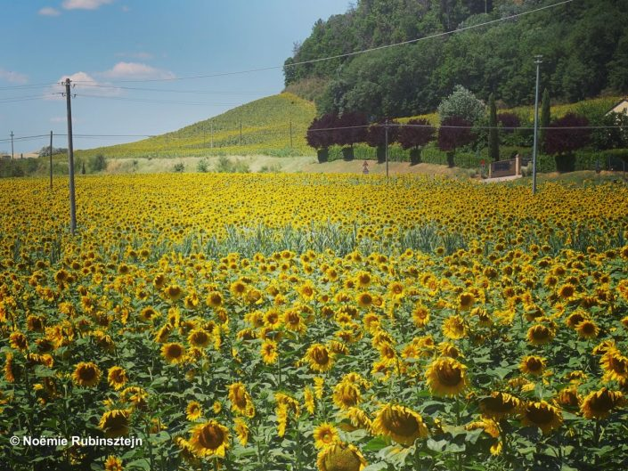 This photo was taken in Tuscany and features a sunflower field.